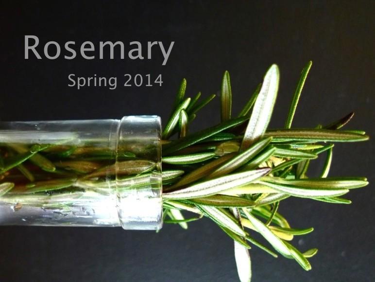 Spring 2014 : Rosemary