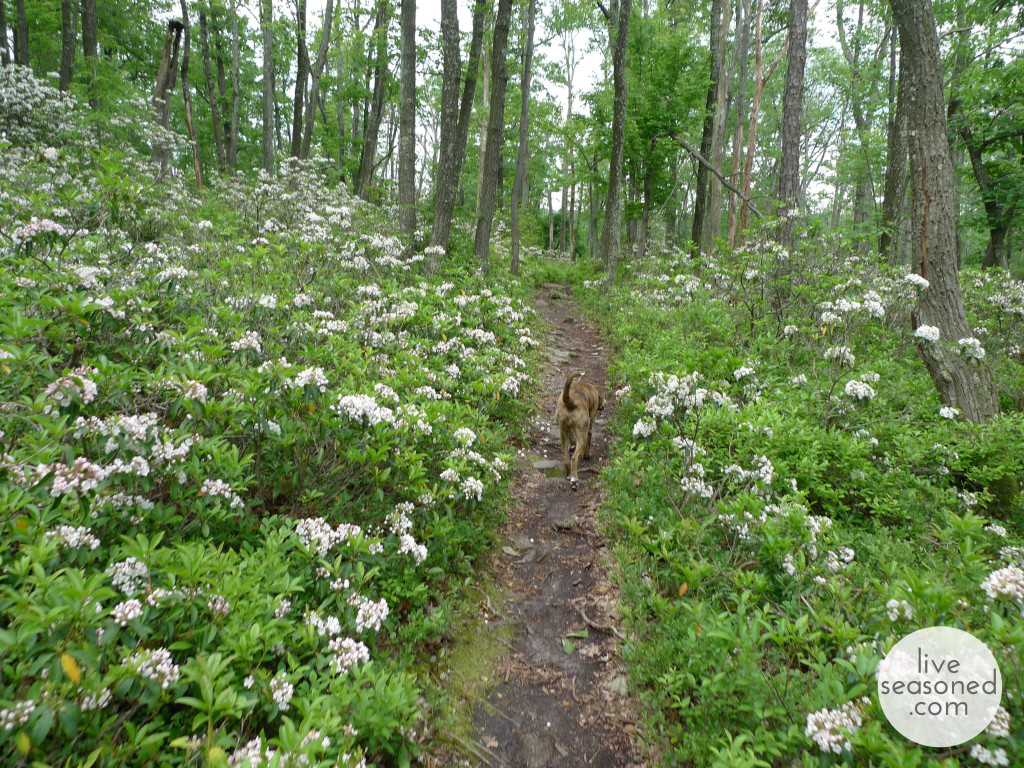 Rothrock State Forrest, same path as above with the Mountain Laurel in full bloom.