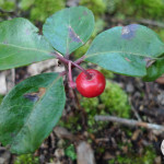 Ripe Teaberry