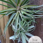 Air Plants in the Shower
