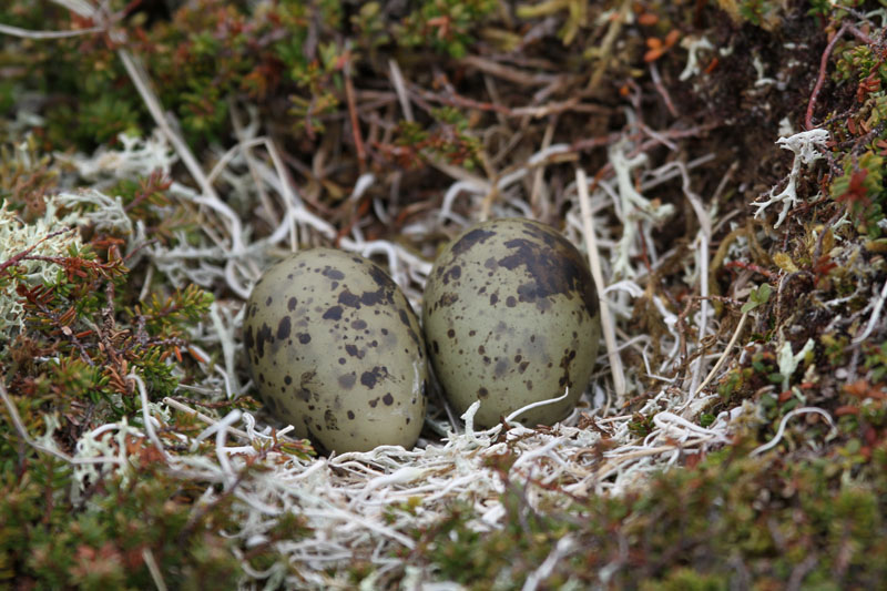 Arctic_tern_nest_2_25JUN10