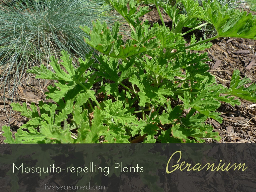 Mosquito repelling plants - Mosquito repellent plants ...