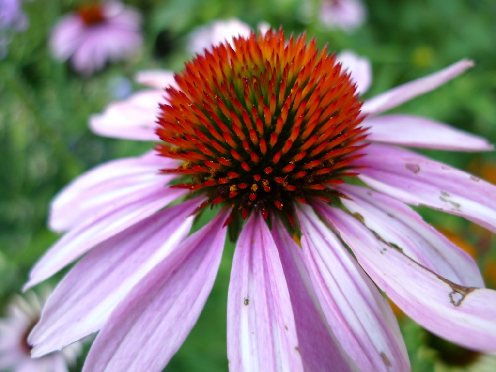 coneflower_july_2012