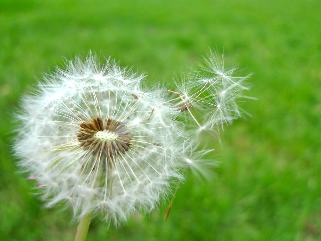 dandelion_blowing