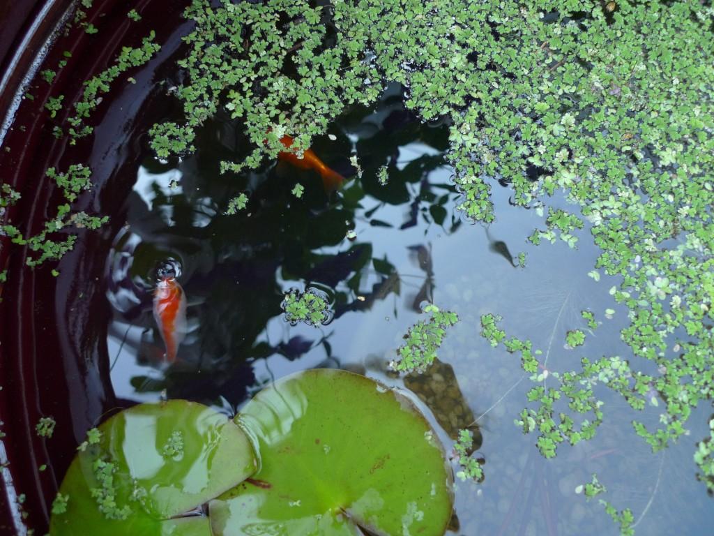 water_garden_fish