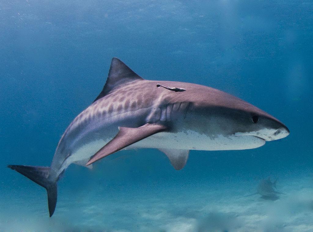 1024px-Tiger_shark