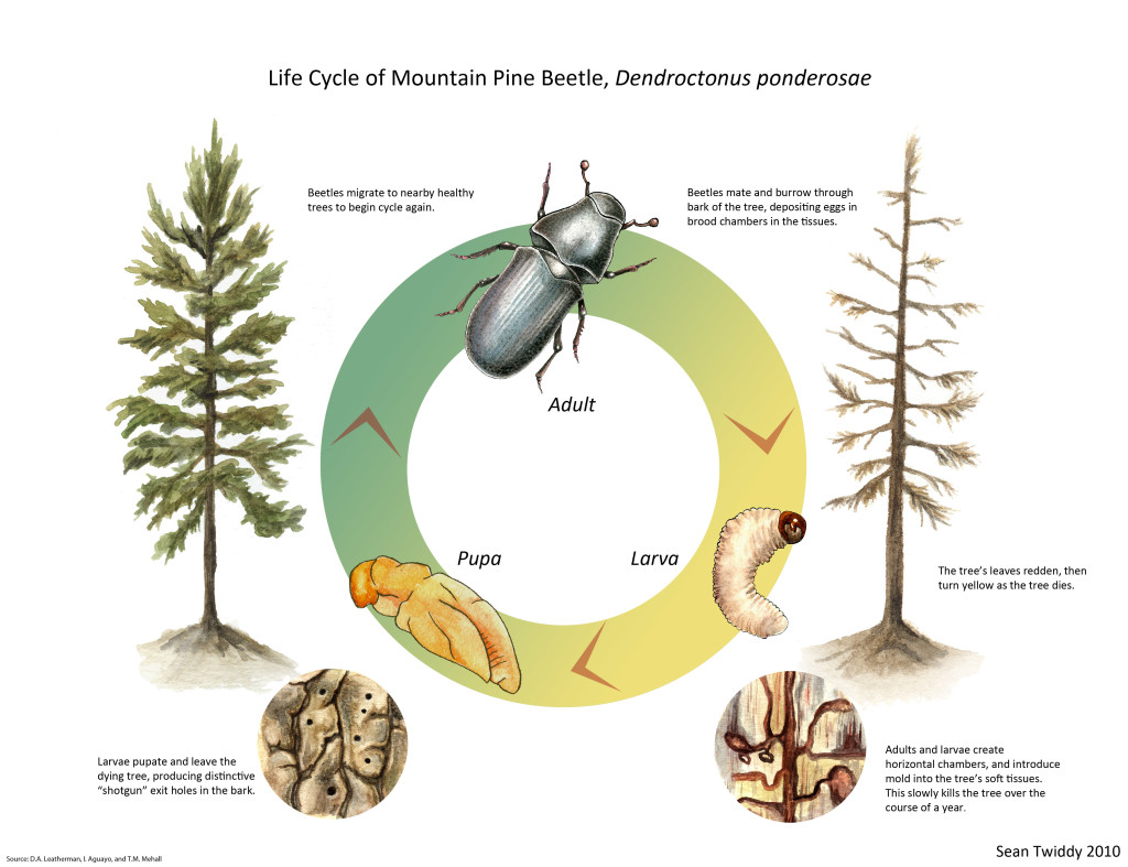 Life Cycle of Mountain Pine Beetle