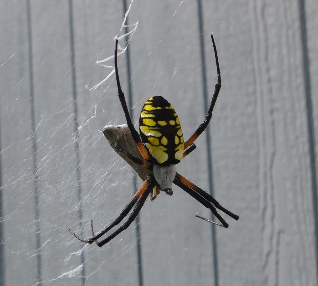 liveseasoned_summer2015_spider7