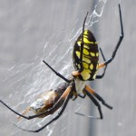 Species Spotlight : Argiope aurantia