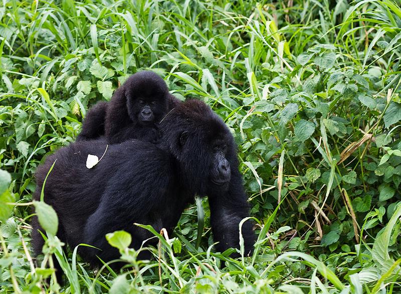 800px-Virunga_Mountain_Gorilla_1